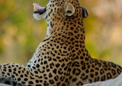 A leopard on an Okavango Delta Safari
