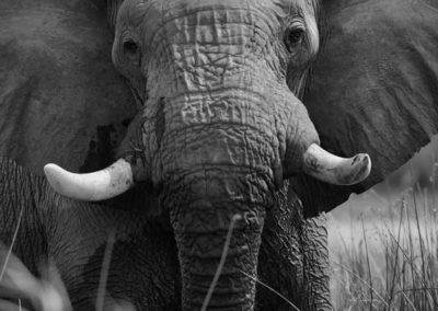 elephant-bw-600x800