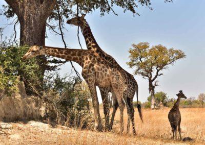 gallery-giraffe