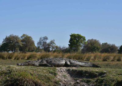 gallery-nile-crocodile