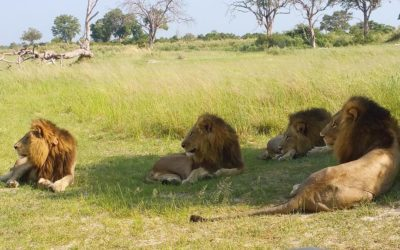 Saving the lions of Northern Okavango