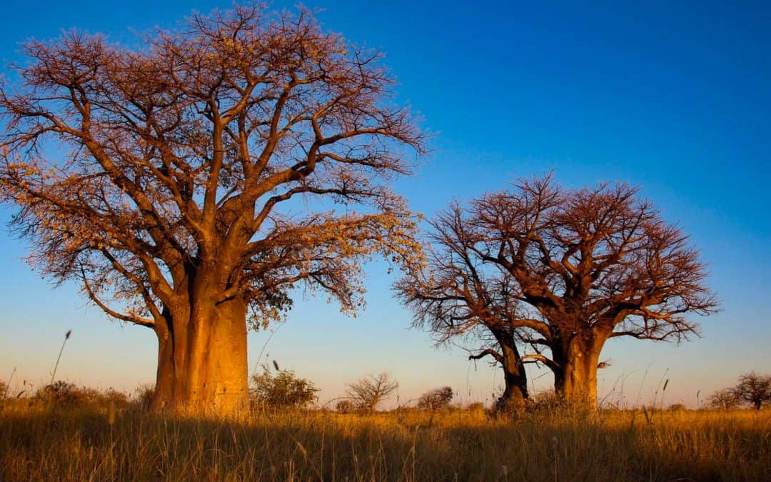 Adopt A Baobab